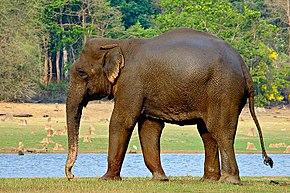 290px-IndianElephant