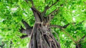 Bodhi_Tree1 web